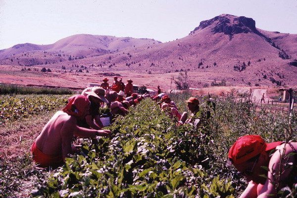 Pickers at the vegetable farm Rajneeshpuram 1985